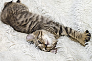 Susan Leggett Art - Comfortable Kitten by Susan Leggett