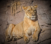 Lioness Mixed Media Posters - Comfortable Lioness Poster by Elaine Malott