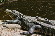 Alligators Photos - Comfy Cozy by Lois Bryan