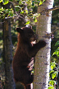 Black Bear Climbing Tree Posters - Coming Down Poster by Mark Kiver