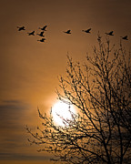 Goose Prints - Coming Home In The Spring Print by Bob Orsillo