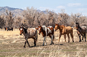 Gray Horses Photos - Coming In by Sue Smith