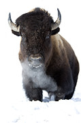 Bison Prints - Coming Through Print by Deby Dixon