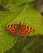 Paul Scoullar - Comma Butterfly