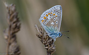 John Adams - Common blue