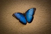 Insects Artwork Photo Posters - Common Blue Morpho Poster by Charles Dobbs