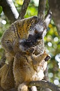 Science Photo Library - Common brown lemurs
