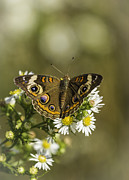 Buckeye Prints - Common Buckeye 2 Print by Thomas Young