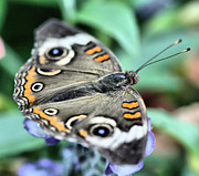 Buckeye Framed Prints - Common Buckeye Butterfly Framed Print by Ely Arsha