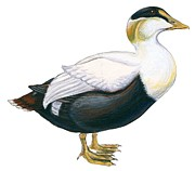 Feather Drawings - Common eider by Anonymous
