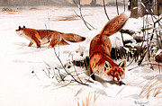 Snow Scene Digital Art Prints - Common Fox In The Snow Print by Friedrich Wilhelm Kuhnert