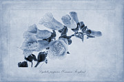 John Edwards - Common Foxglove Cyanotype
