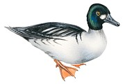 Duck Drawings - Common goldeneye  by Anonymous
