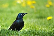 Blackbirds Prints - Common Grackle Print by Christina Rollo