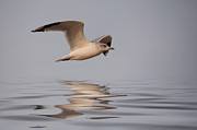 Gull Seagull Posters - Common Gull Larus canus in flight Poster by John Edwards