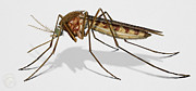 Urft Valley Art - Common House Mosquito -...