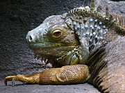 Saheed Prints - Common Iguana Relaxing Print by Margaret Saheed