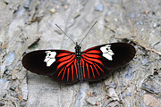 Neotropical Framed Prints - Common Longwing butterfly Framed Print by James Brunker