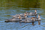Baby Ducks Posters - Common Merganser Juveniles 2 Poster by Sharon  Talson