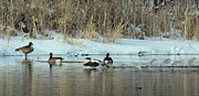 Rosanne Jordan - Common Merganser Takes...