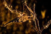 Kathleen K Parker - Common Milkweed Pod and Seeds