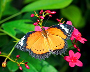 Amy McDaniel - Common Orange Lacewing...
