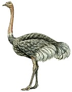 Close-up Drawings Framed Prints - Common ostrich Framed Print by Anonymous