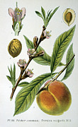 Fruit Drawings Posters - Common Peace Persica Vulgaris Poster by Anonymous