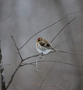 David Porteus - Common Redpoll