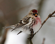 Common Redpoll Print by Deborah  Smith