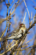 Common Redpoll Female Print by Alyce Taylor