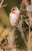 Arctic Rose Prints - Common Redpoll in Trees Print by Dawn Y Wilson