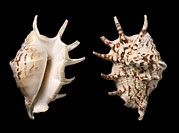 Science Photo Library - Common spider conch...