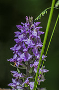 Steve Purnell - Common Spotted Orchid