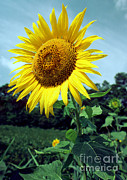 Food Source Prints - Common Sunflower Print by Millard H. Sharp