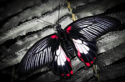 Antenna Metal Prints - Common swallowtail butterfly Metal Print by Elena Elisseeva