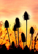 The Creative Minds Art and Photography - Common Teasle Sunset...
