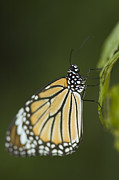 Danaus Genutia Framed Prints - Common Tiger Butterfly Framed Print by Kris Mercer
