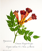 Roberta Jean Smith - Common Trumpet-Creeper 1