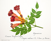 Roberta Jean Smith - Common Trumpet-Creeper 2