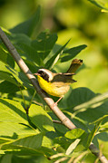 Natural Focal Point Photography Metal Prints - Common Yellow Throat  Metal Print by Natural Focal Point Photography