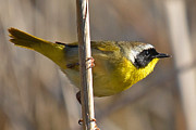 Ken Simonite - Common Yellowthroat