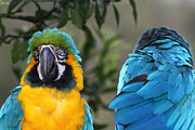 Blue And Yellow Macaw Prints - Communication Breakdown Print by James Brunker