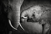Johan Swanepoel - Compassion - Elephants