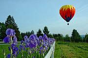Balloon Flower Framed Prints - Composition Framed Print by Nick  Boren