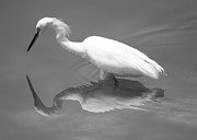 Snowy Egret Photos - Concentration by Carol Groenen