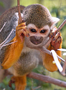 Squirrel Monkey Prints - Concentration Print by Jim Chamberlain