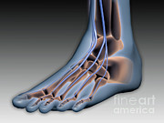 Human Body Parts Posters - Conceptual Image Of Human Foot Poster by Stocktrek Images