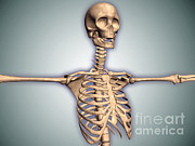 Front View Digital Art Posters - Conceptual Image Of Human Rib Cage Poster by Stocktrek Images
