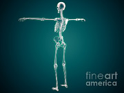 True Ribs Posters - Conceptual Image Of Human Skeletal Poster by Stocktrek Images